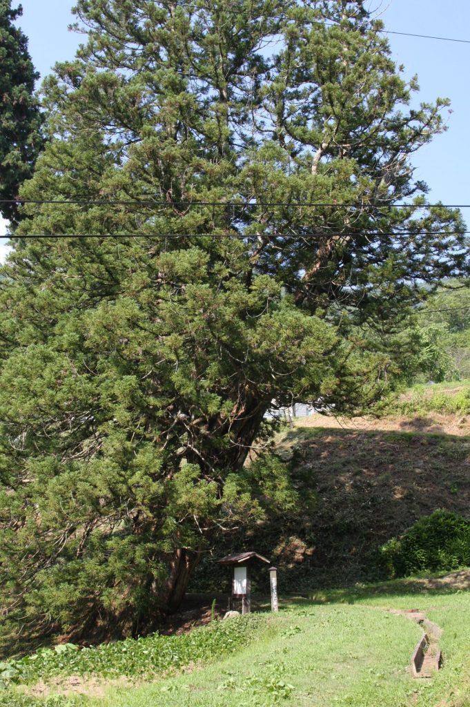 臥雲院の三本杉